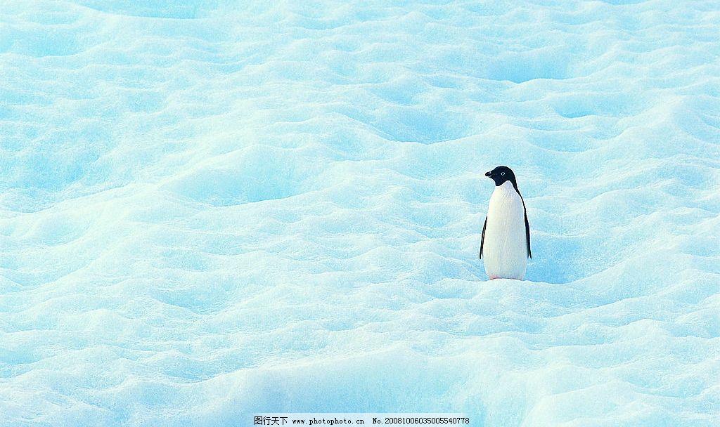 雪地企鹅 雪地 企鹅 生物世界 野生动物 摄影图库 72dpi jpg