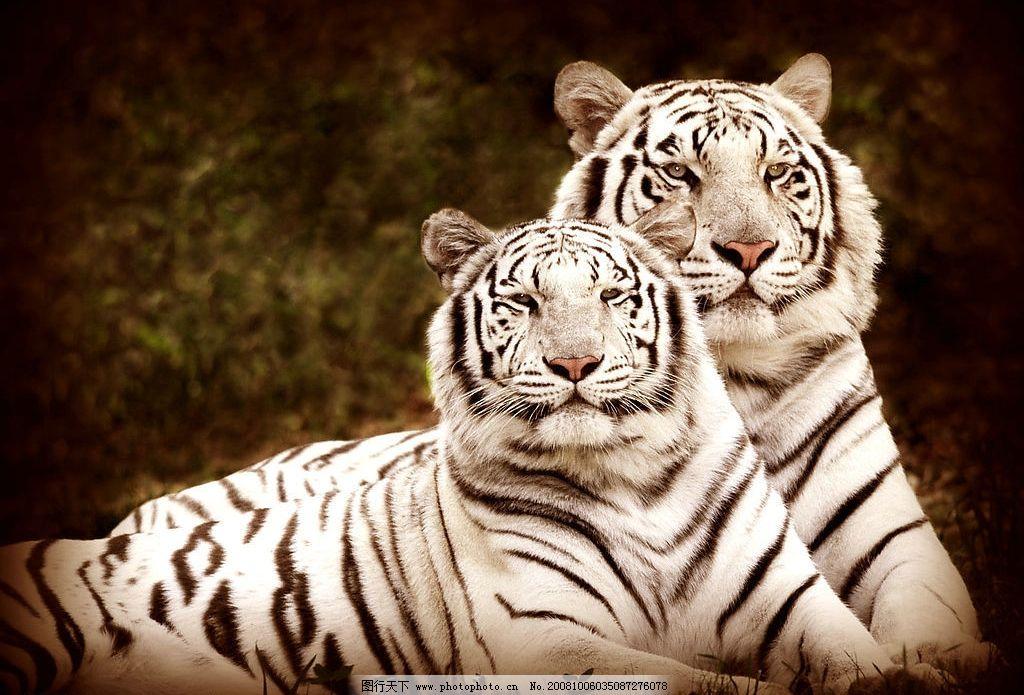 珍贵野生动物黑白条纹虎斑白虎母子图片