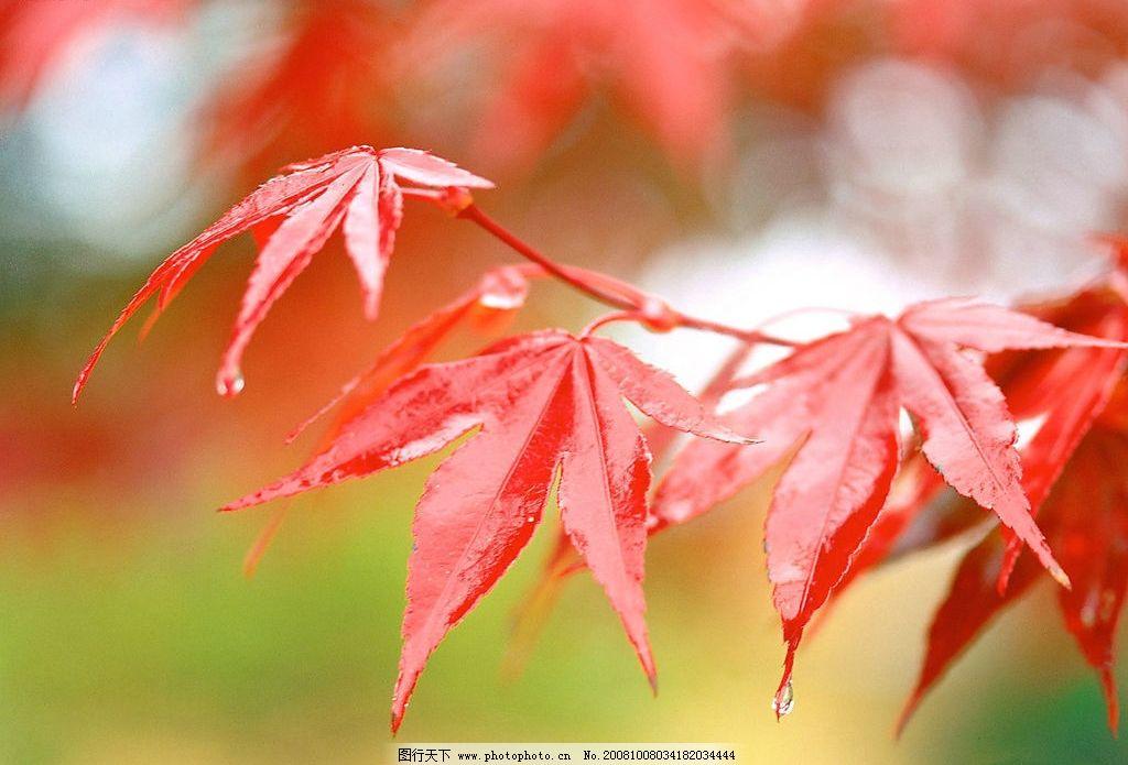 秋天紅色的楓葉 濃郁秋色 水珠 秋雨 旅游攝影 自然風景 濃濃秋色