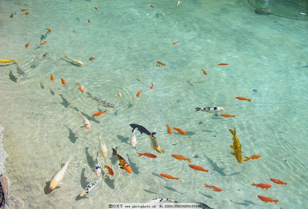 金鱼 鱼趣 水 湖 鱼 游戏 鱼景 公园 水面 自然景观 自然风景 摄影