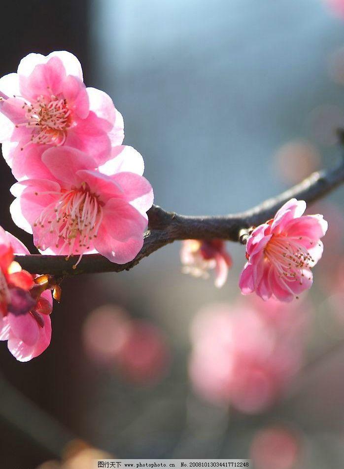 桃花 摄影 自然景观 山水风景 摄影图库 72dpi jpg