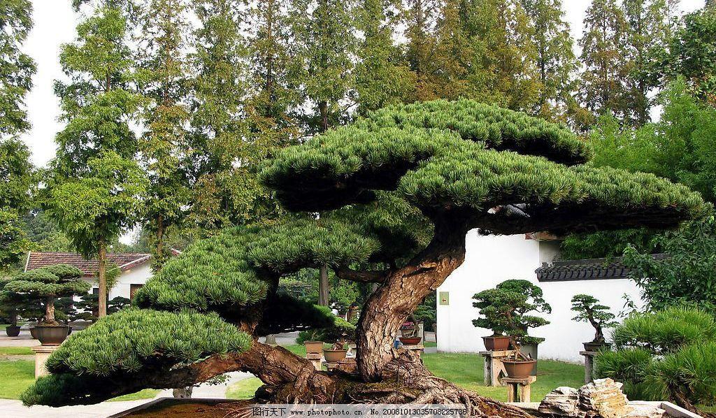 松树盆景图片