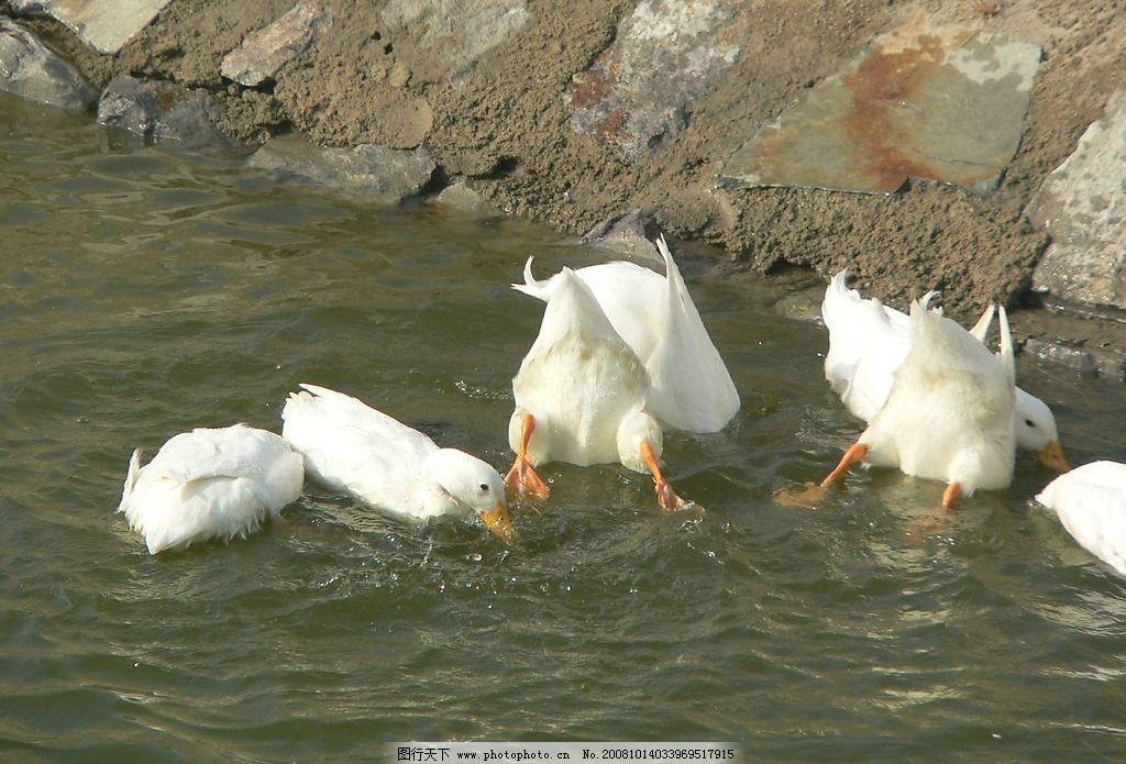 动物 鸭子 旅游摄影 国内旅游 自然风光 摄影图库