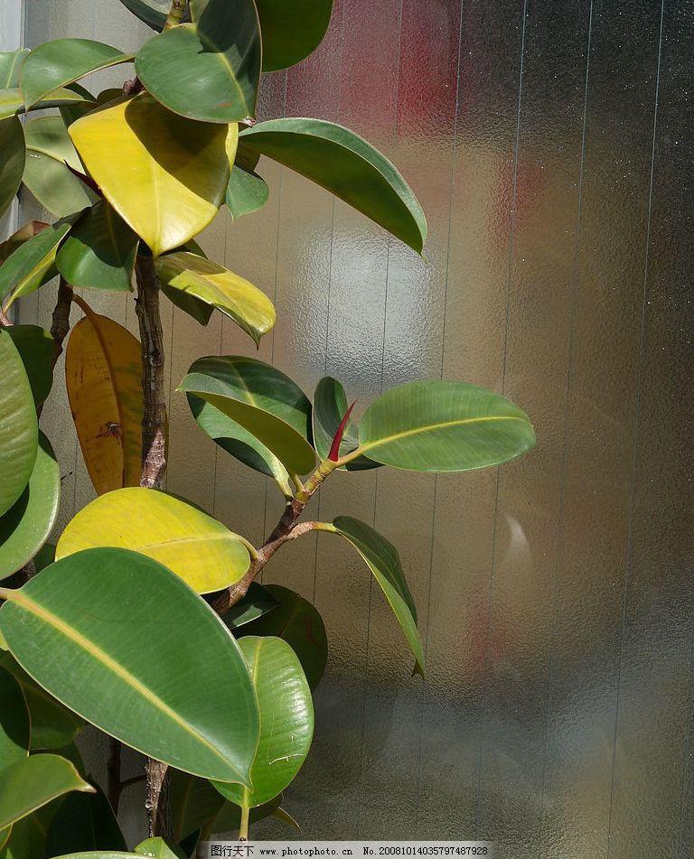大叶子橡皮树图片