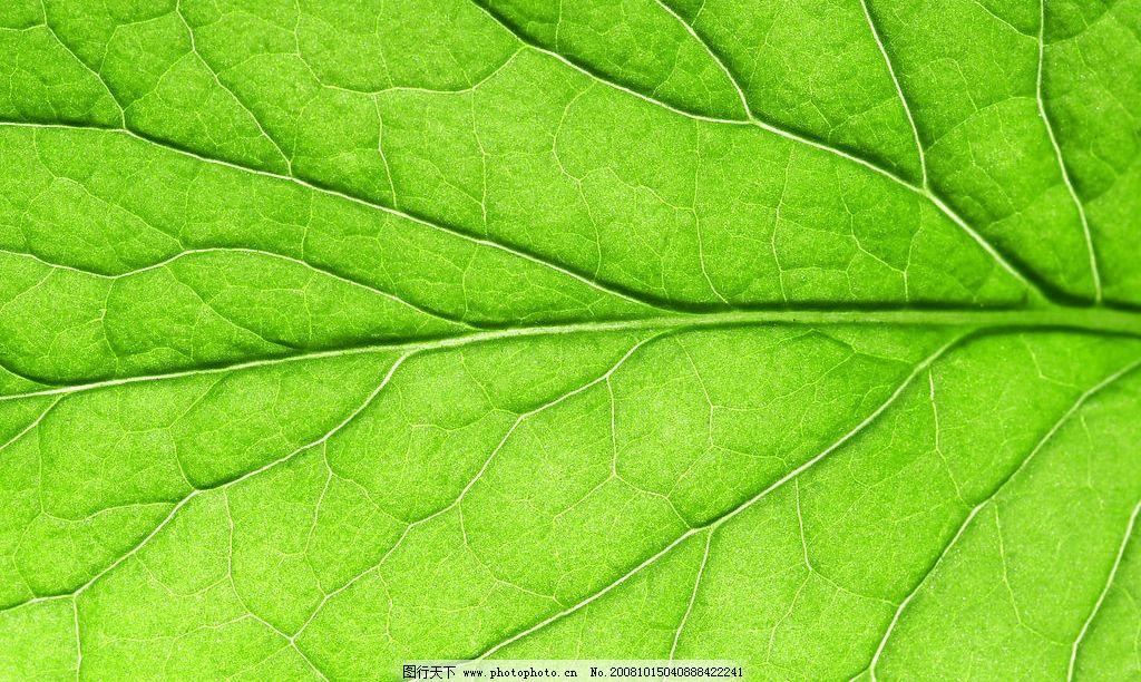 叶脉 叶片 树叶 脉络 其他 图片素材 高清树叶素材 摄影图库 300dpi j