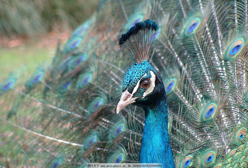 孔雀 孔雀开屏 动物 鸟 美丽 色彩 生物世界 鸟类 摄影图库 72dpi jpg