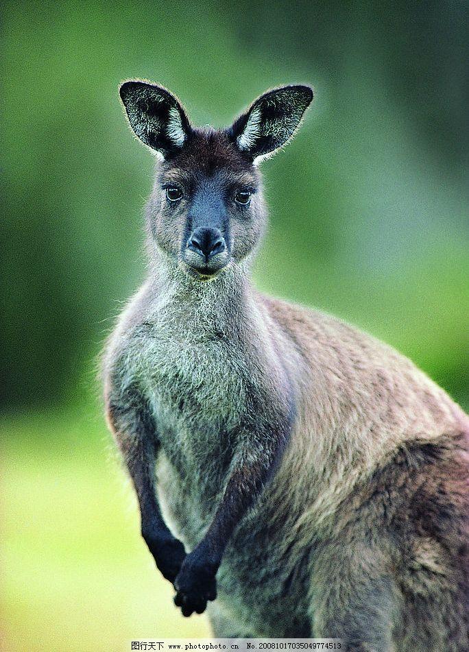 直立的袋鼠特写 袋鼠 直立 特写 野生动物 生物世界 摄影图库 72dpi