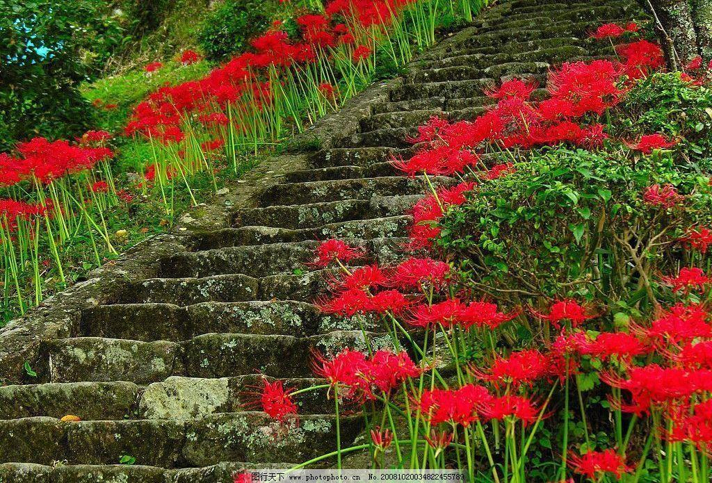 彼岸花 自然景观 自然风景 摄影图库