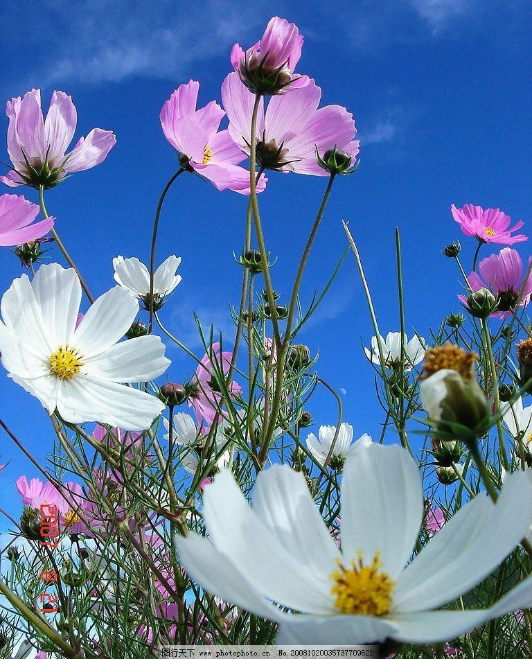格桑花 花 美丽的花 绿叶 蓝天 白云 天空 生物世界 花草 摄影图库 72