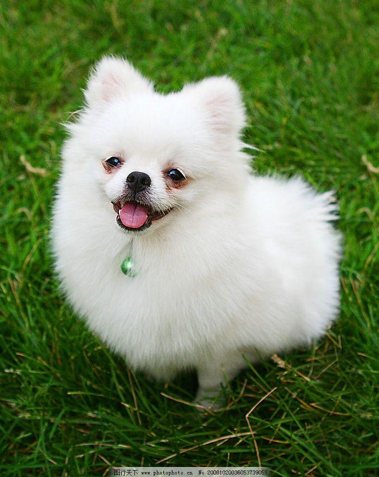 博美 宠物 白 狗 犬 可爱 草地 生物世界 其他生物 摄影图库 72dpi