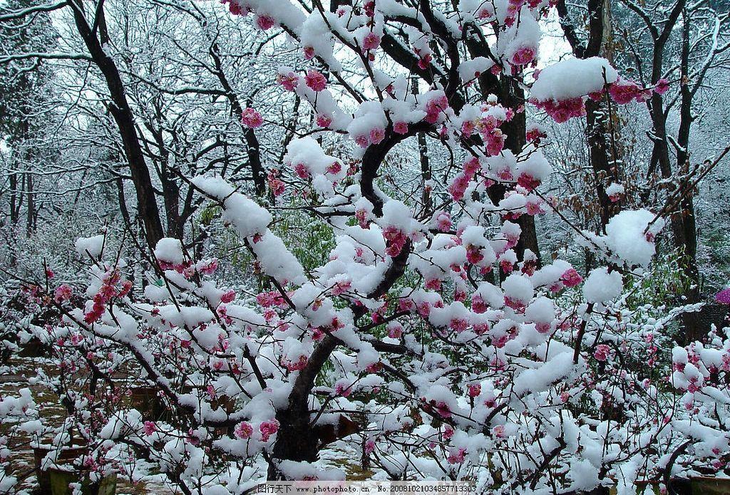 梅园雪景 梅花 梅园 雪 雪景 昆明黑龙潭 自然景观 自然风景 摄影图库