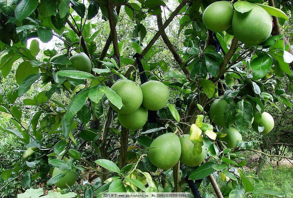 柚子 枝条 树枝 树 树叶 绿色 水果 果树 果园 自然风景 景观 生物