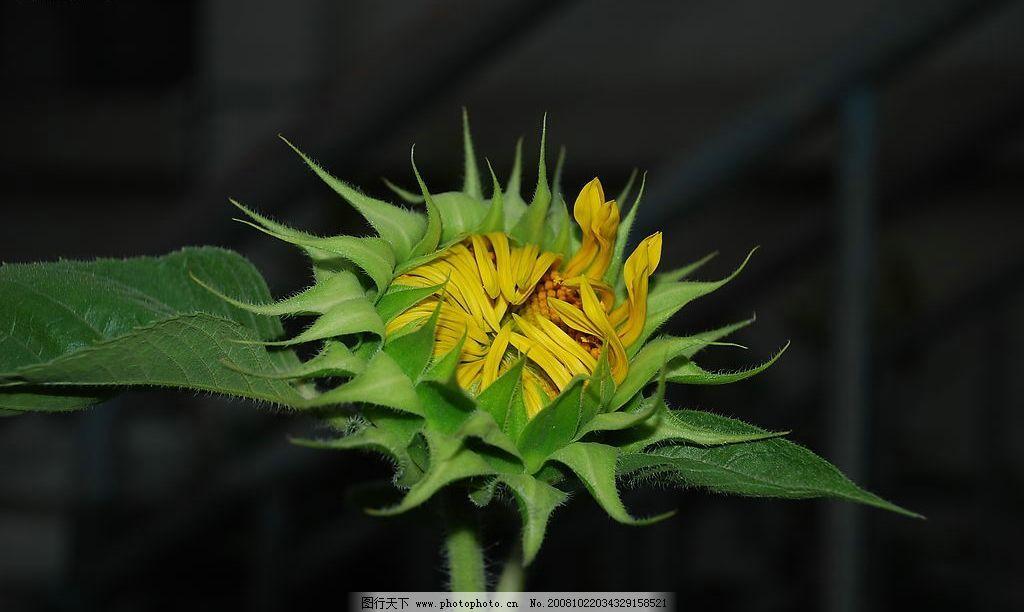 向日葵 花事 花朵 叶子 旅游摄影 其他 我的图片 摄影图库 300dpi jpg