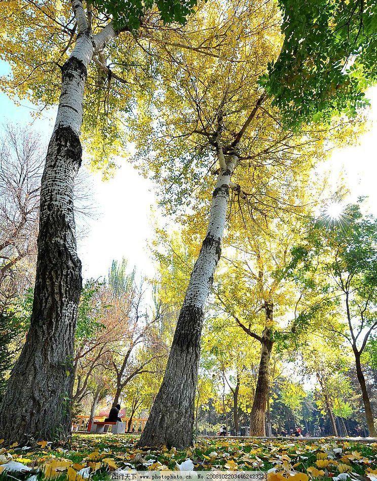 落叶 秋天 梧桐 阳光 草地 享受 公园 参天大树 自然景观 山水风景