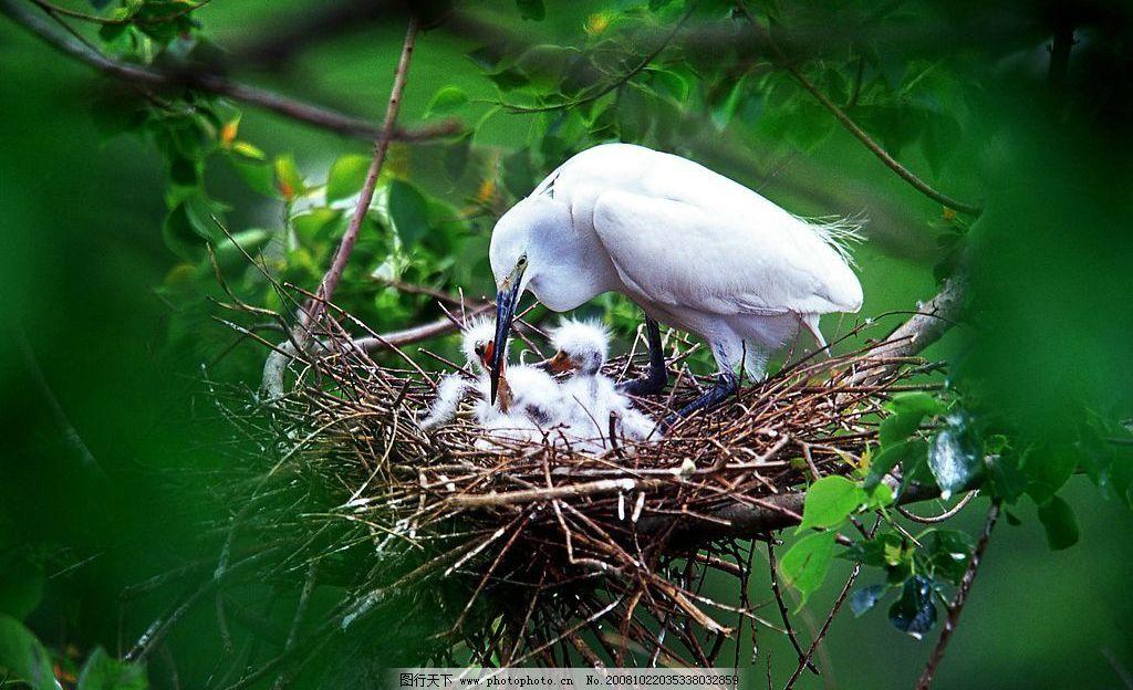 鸟儿哺育 红树林 树林 鸟巢 鸟窝 哺育 母爱 喂食 生物世界 鸟类 摄影