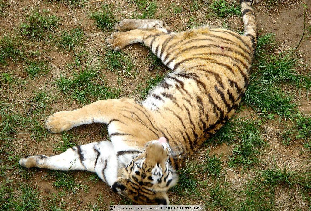 睡懒觉的老虎 荣成 自然 动物 可爱 躺着 荣成景色 摄影图库
