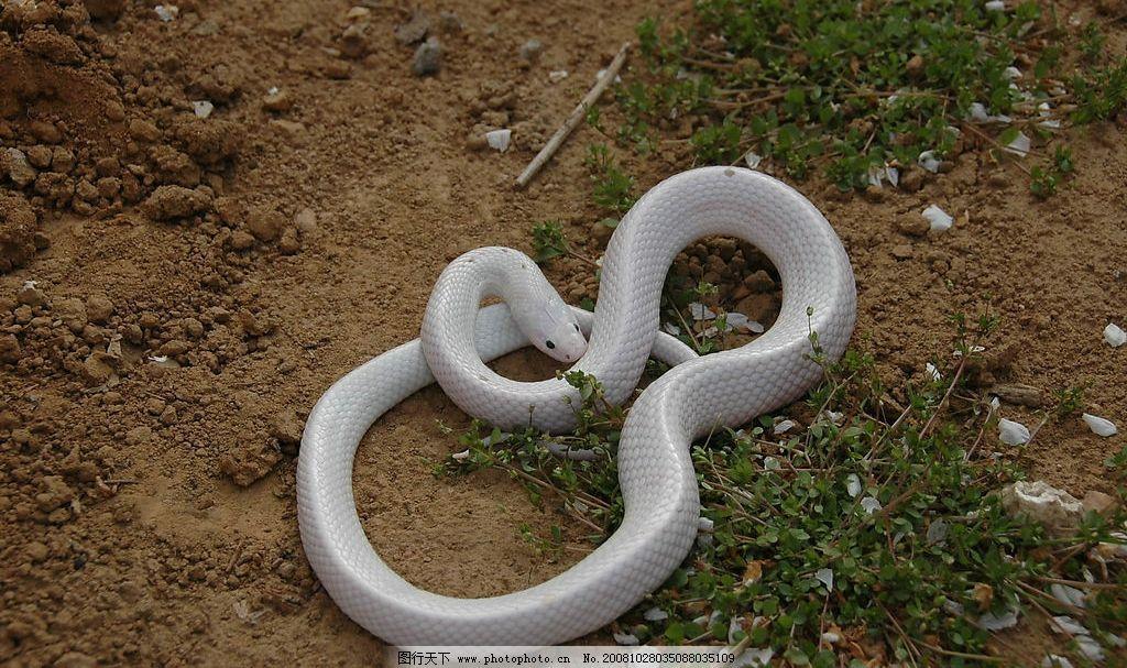 白娘子 小白蛇的温柔 生物世界 野生动物 珍贵的蛇照片 摄影图库