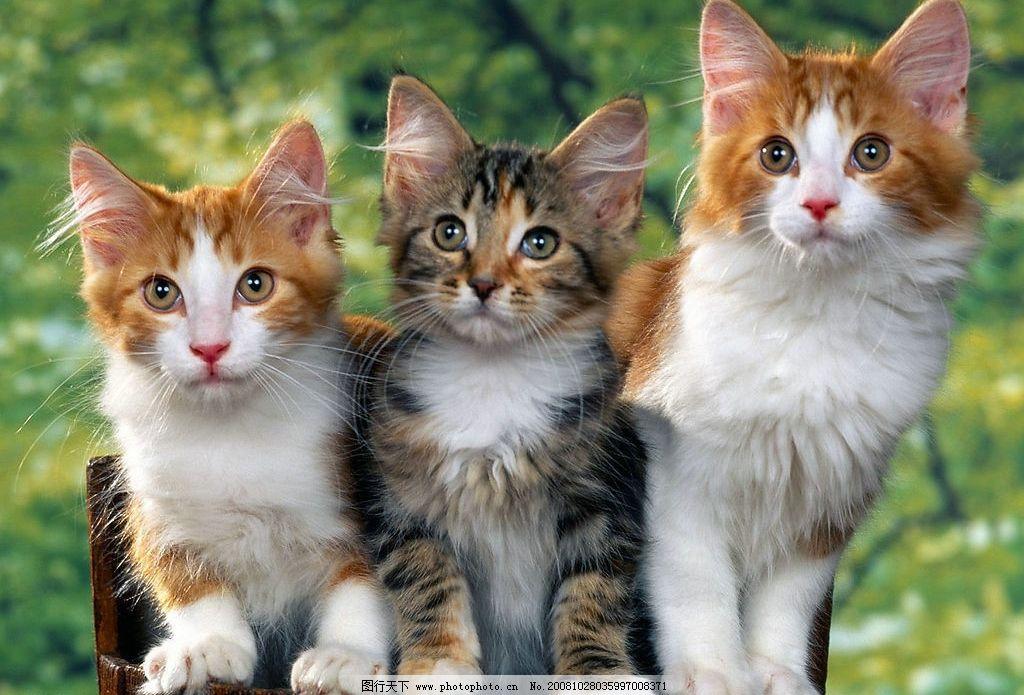 三只可爱的小花猫 猫 家猫 小猫 猫咪 生物世界 家禽家畜 摄影图库 72