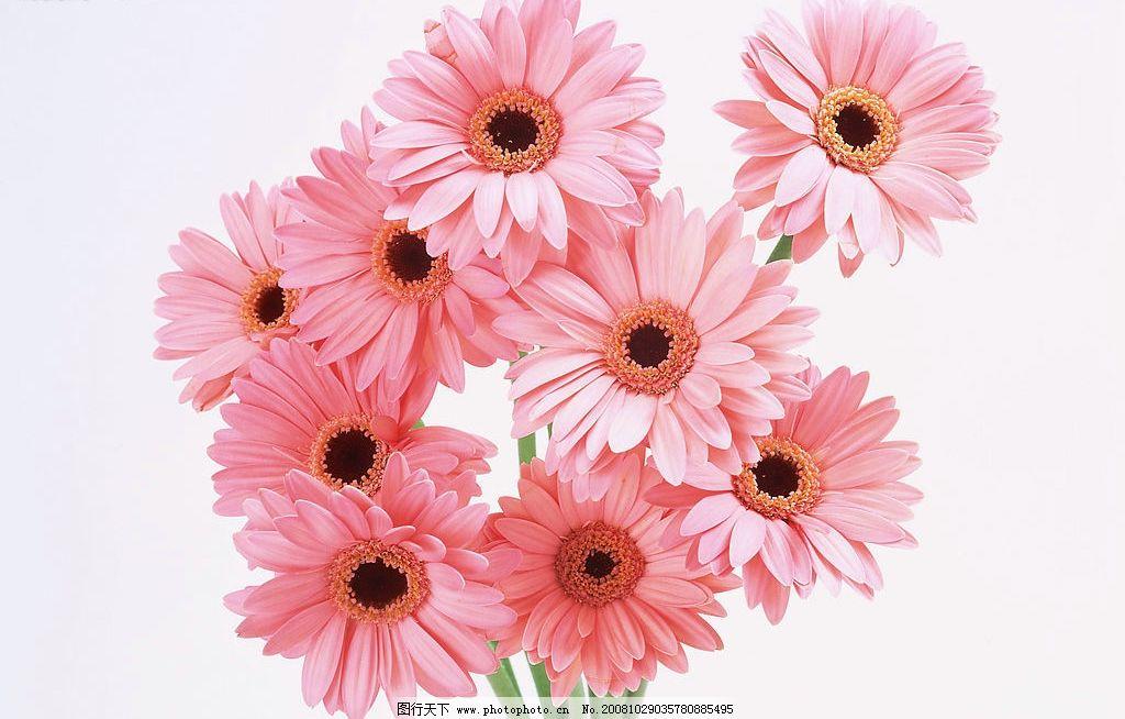 花卉 粉色扶郎花图片