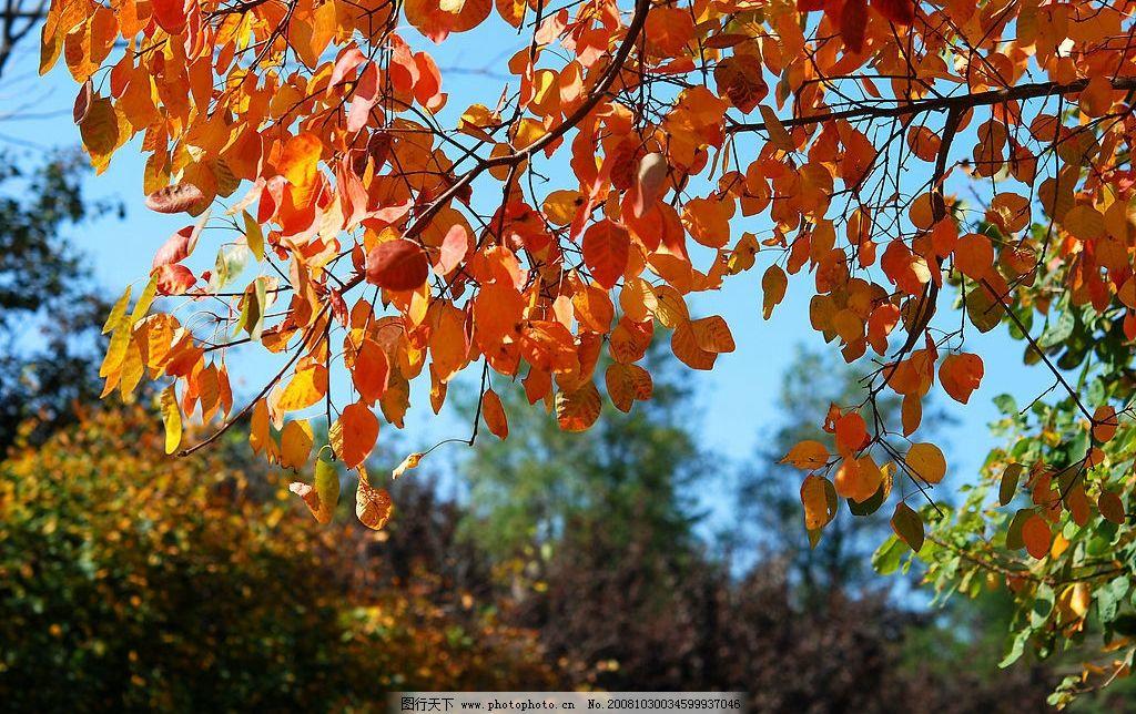 枫叶 秋 秋天 自然景观 田园风光 摄影图库 96dpi jpg