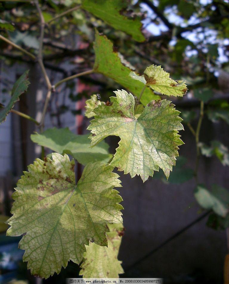 葡萄叶子图片
