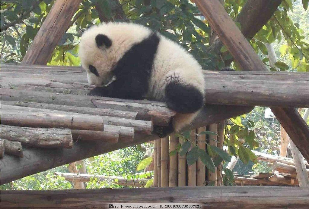 大熊猫 生物世界 野生动物 摄影图库 72dpi jpg