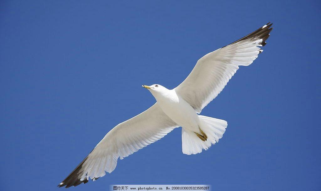 海鸥 飞鸟 飞禽 蓝天 动物 飞翔 生物世界 鸟类 摄影图库 72dpi jpg