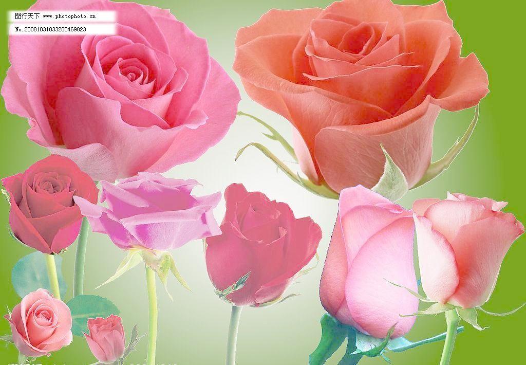 广告设计  200dpi psd psd分层素材 红色 浪漫 亮丽 玫瑰花 清晰 热情