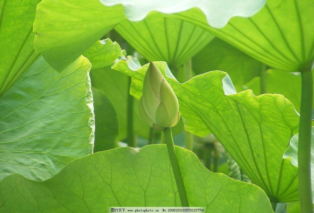 荷花 花苞 荷叶 花 自然景观 自然风景 摄影图库 72dpi jpg