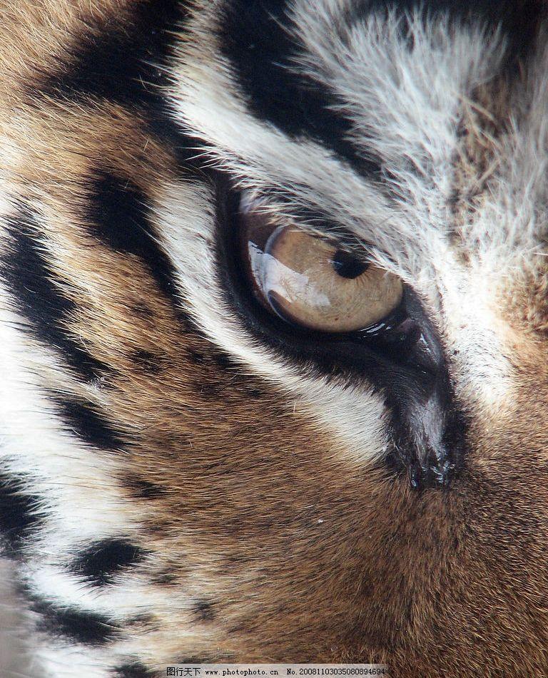 老虎眼睛 老虎 东北虎 眼睛 愤怒 眼神 生物世界 野生动物 摄影图库