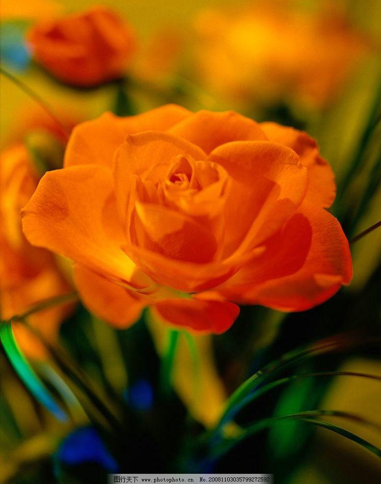 橙色的花朵图片