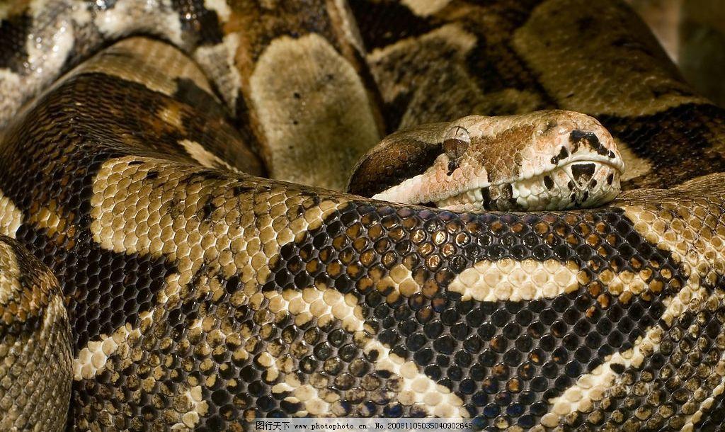蟒蛇特写 花纹 蟒蛇 特写 生物世界 野生动物 摄影图库 2276dpi jpg
