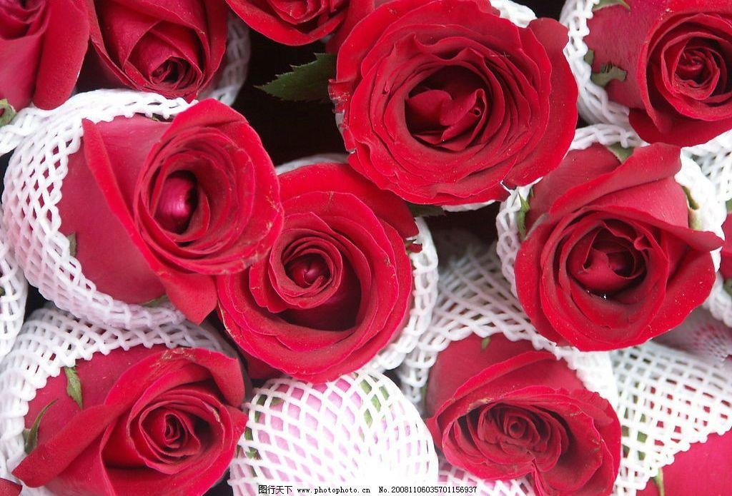 红玫瑰 其他 图片素材 摄影图库