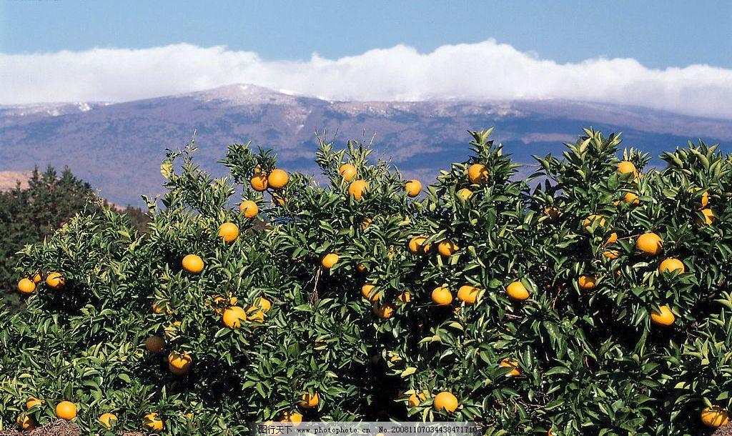 桔子园 桔子 桔子树 果园 山恋 山 天空 白云 自然景观 山水风景 摄影