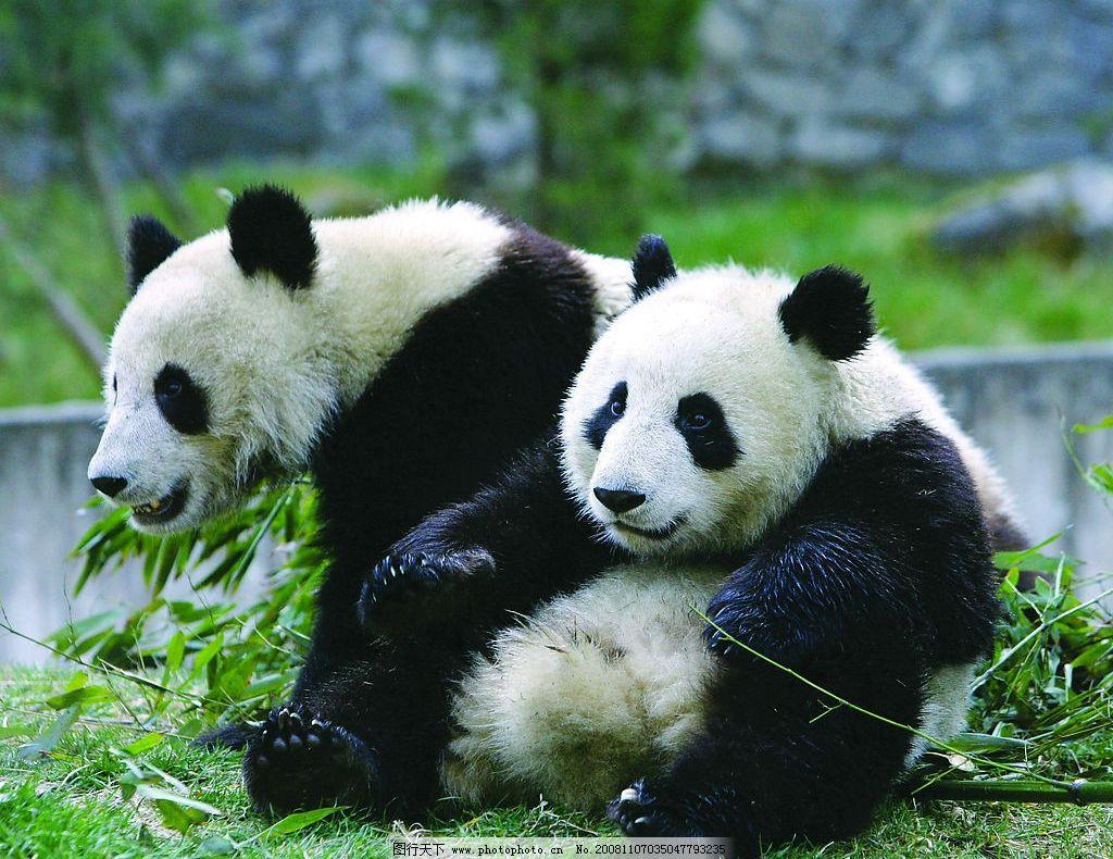 熊猫 食竹 嬉戏 生物世界 野生动物 摄影图库 300dpi jpg