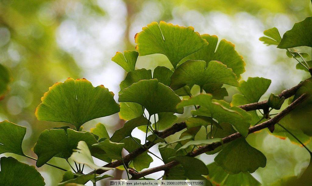 银杏树叶 银杏 树叶 绿色 茂盛 特写 生物世界 花草 花花草草 摄影