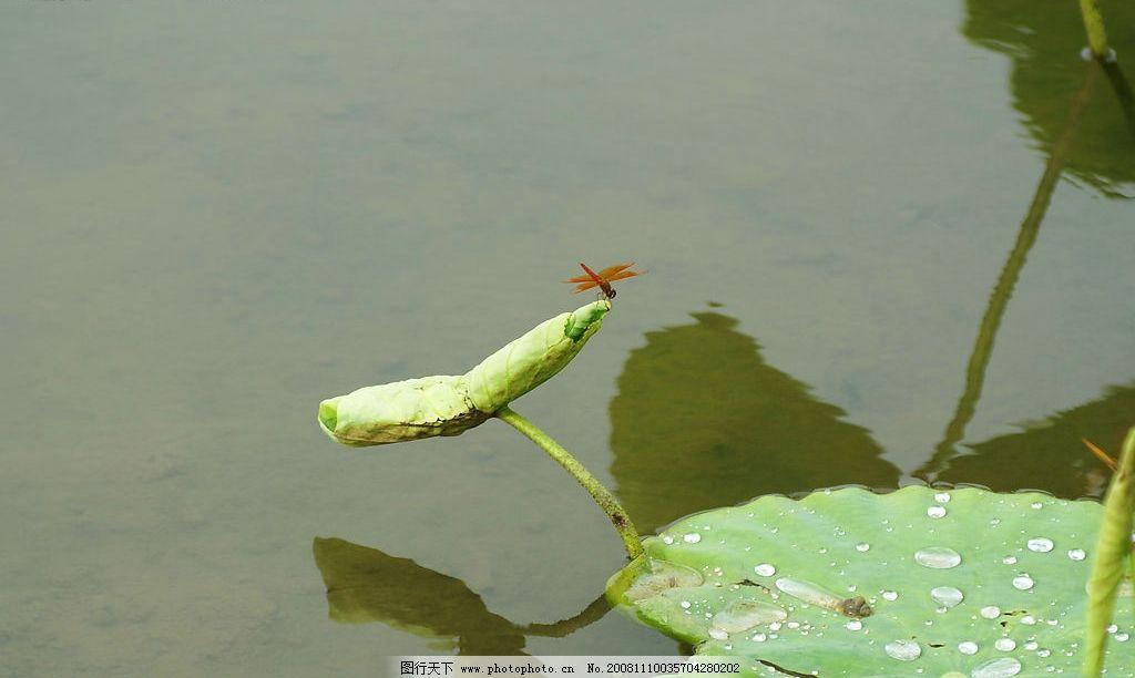 荷花 花草 蜻蜓 水边风景 自然景观 自然风景 摄影图库 72dpi jpg