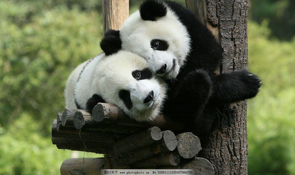 熊猫1172356可爱柚
