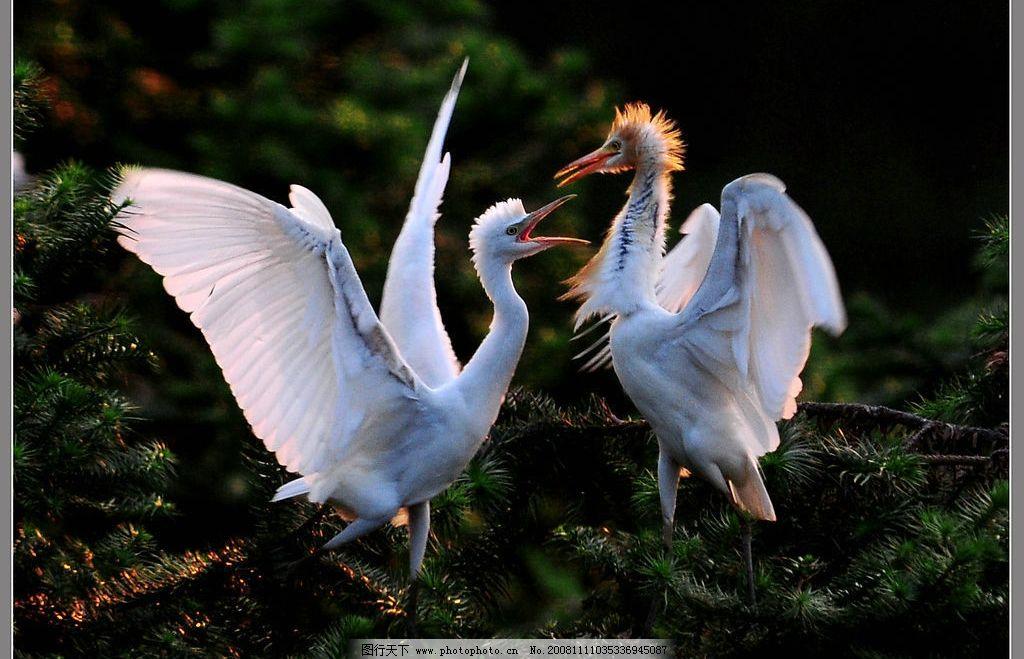 白鹭 两只鸟 阳光 白色 草地 树林 红色 嘴 翅膀 自然景观 自然风景