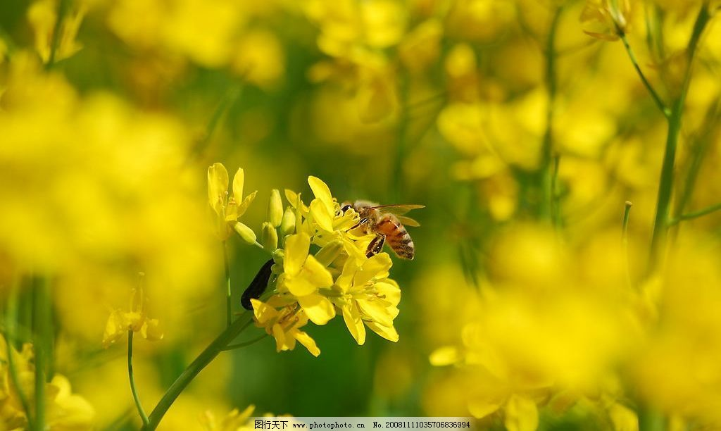 蜜蜂采蜜 油菜花 植物 小动物 摄影图库