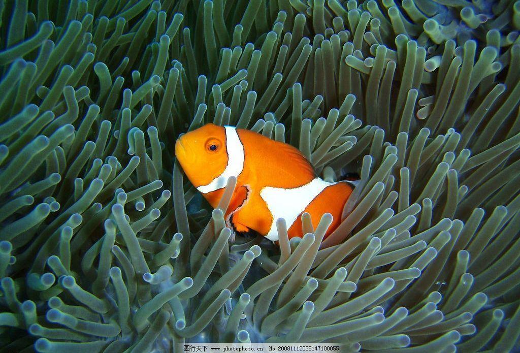 小丑鱼 动物 海洋动物 海底世界 鱼类 摄影图库