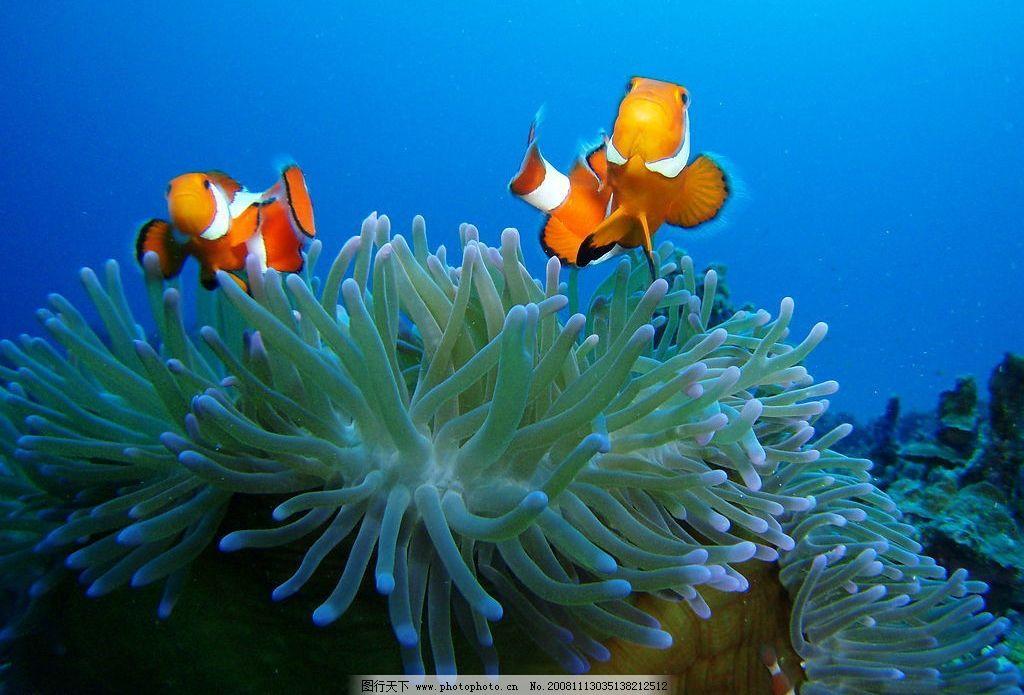 小丑鱼 动物 海洋动物 海底世界 鱼类 生物世界 海洋生物 摄影图库