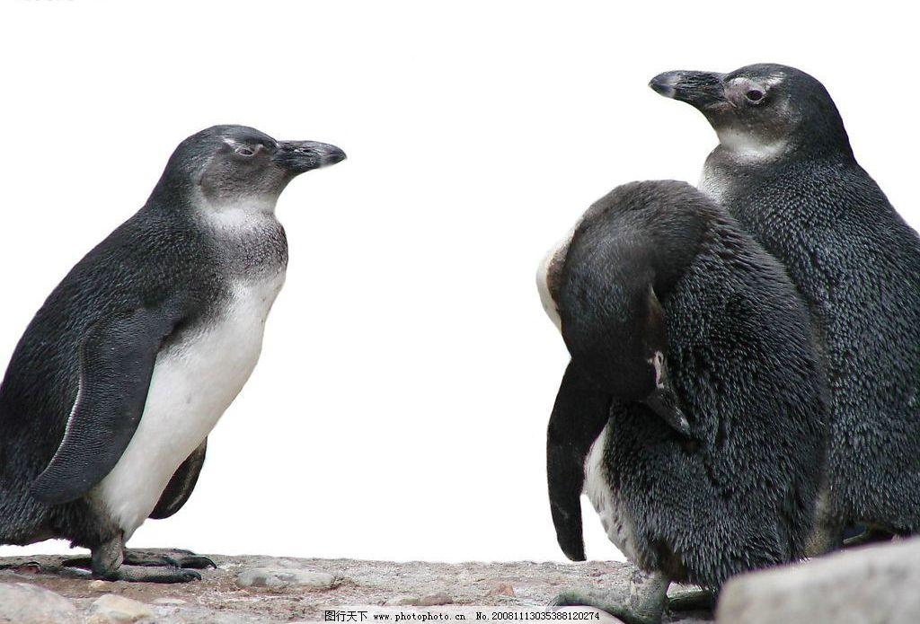 三只企鹅 南极动物 黑白世界 摄影图库