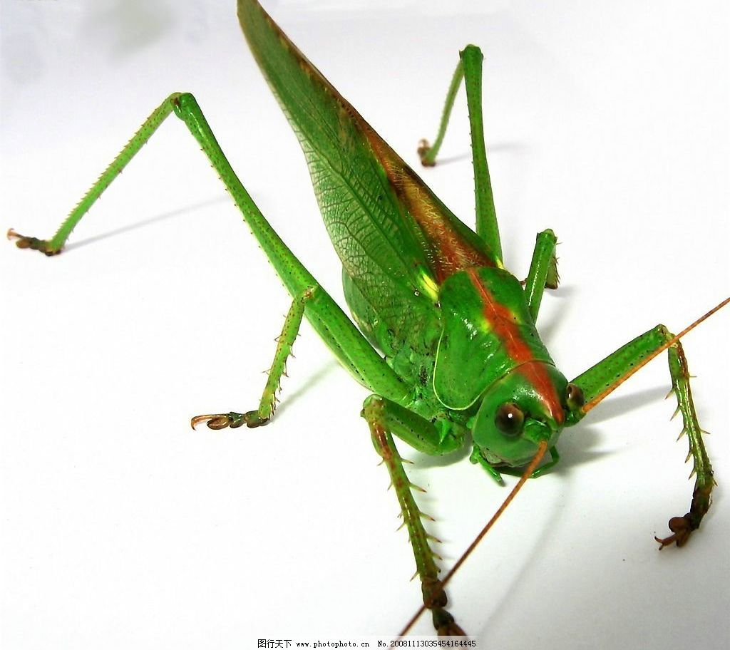 蝗虫 蝈蝈 成虫 绿色 翠绿 生物世界 昆虫 摄影图库 300dpi jpg