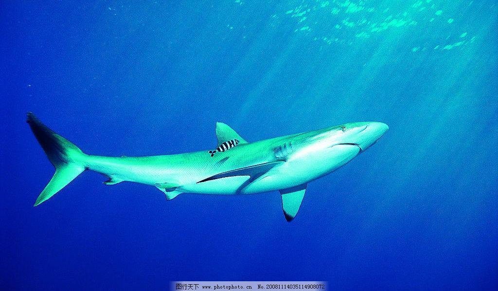 鲨鱼 深海 生物世界 野生动物 摄影图库 72dpi jpg 海洋生物