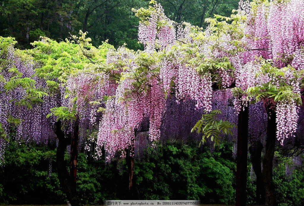 紫藤萝瀑布图片
