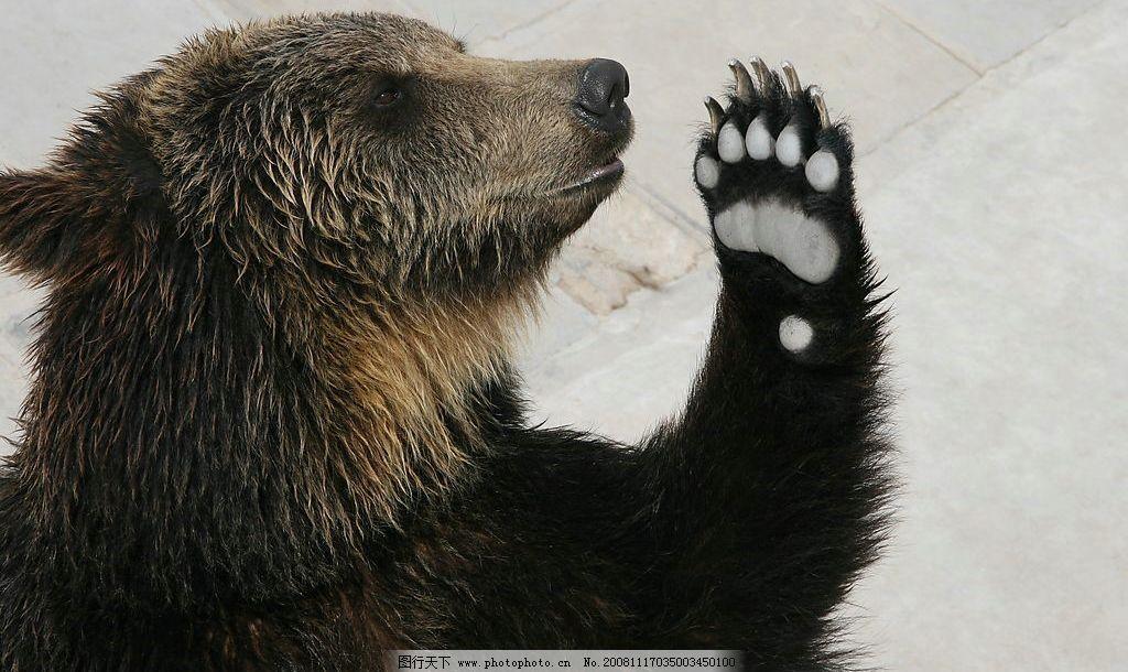 黑熊打招呼 熊 熊掌 搞笑 可爱 你好 招手 憨态 生物世界 野生动物 摄