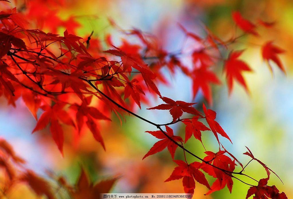 枫叶 红色枫叶 秋天的景色 自然景观 自然风景 摄影图库 72dpi jpg