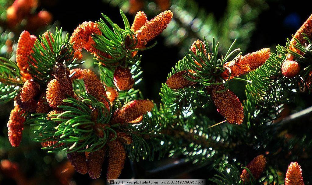 新疆图片 树木 树林 植物 松树 松果 旅游摄影 国内旅游 摄影图库 72