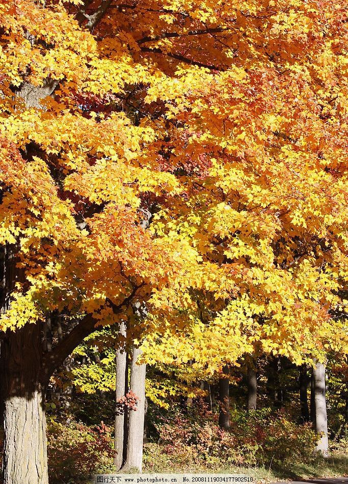 枫树 枫林 枫叶 红叶 黄叶 树林 树木 秋景 旅游摄影 自然风景 摄影